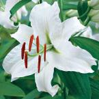 16 cm to 18 cm Casablanca Lily Bulbs (5-Pack)