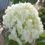 2 gal. Incrediball Hydrangea Shrub