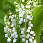 Lily of The Valley White Bare Root Dormant Plants (20-Pack)