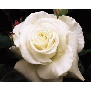 Mea Nursery All Time Favorites Rose John F. Kennedy