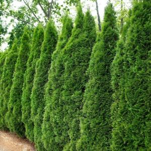 Arborvitae in Bushes