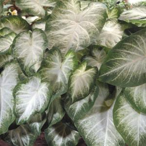 Image result for caladiums home depot