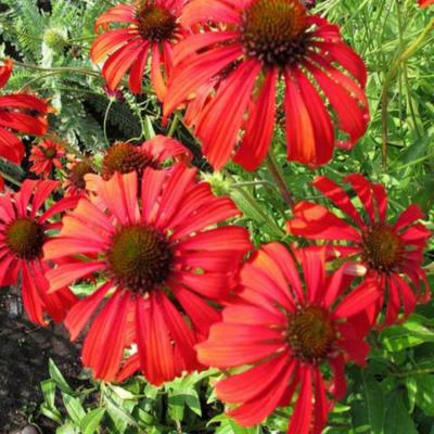 OnlinePlantCenter 1 gal. Tomato Soup Coneflower Plant