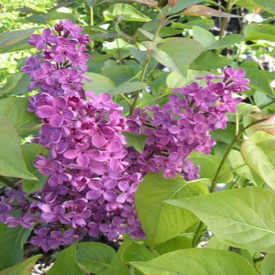 3 gal. Deep Violet Ludwig Spaeth Common Lilac Shrub