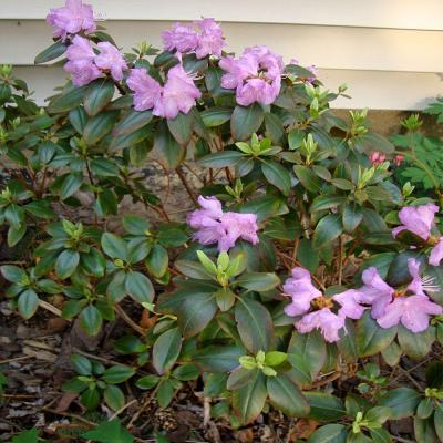 OnlinePlantCenter 1 gal. PJM Rhododendron Shrub-DISCONTINUED