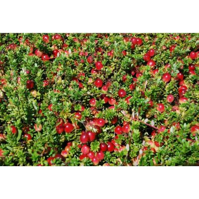 Sweet Berry Selections Stevens Cranberry Fruit Bearing Potted Plant