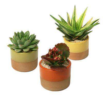null 3.5 in. Assorted Succulent Plant in Horizon Deco Pot (3-Pack)