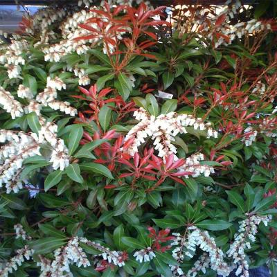 Andromeda Plant Info – Learn About Pieris Japonica Growing ...