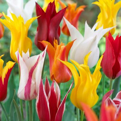 Tulip Lily Flowering Mix Dormant Bulbs (20-Pack)