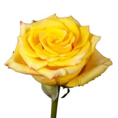 Yellow Roses (50 Stems) Includes Free Shipping
