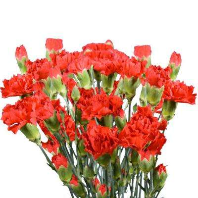 Fresh Red Mini Carnations (160 Stems - 640 Blooms)