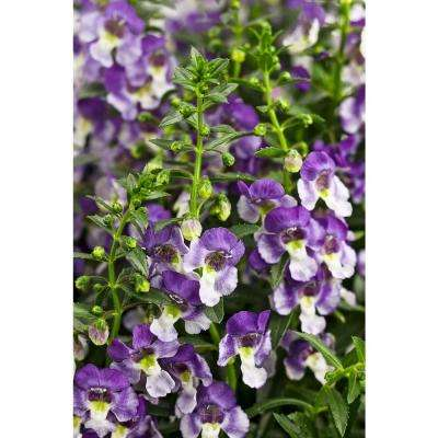 Angelface Wedgwood Blue Summer Snapdragon (Angelonia) Live Plant, Lavender and White Flowers, 4.25 in. Grande, 4-pack