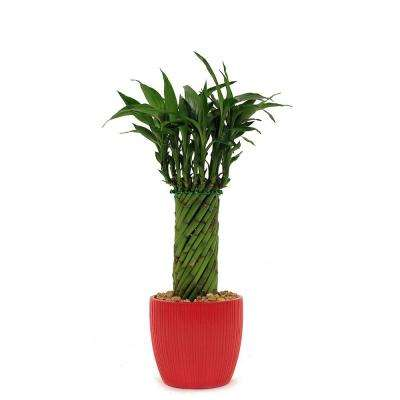Lucky Bamboo Cylinder Braid in 4 in. Ribbed Fiesta Red Pot