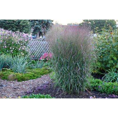 3 Gal. Prairie Winds Apache Rose Switch Grass (Panicum) Live Plant, Gray-Green Foliage and Pink Flowers