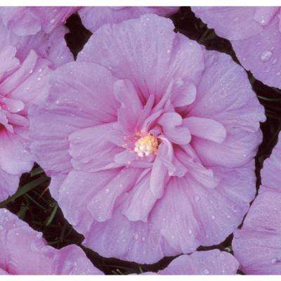 1 Gal. Lavender Chiffon ColorChoice Hibiscus Rose of Sharon Shrub