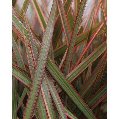 Cordylena Ruby Madagascar Dragon Tree (Dracaena) Live Plant, Green and Dark Red Foliage, 4.25 in. Grande