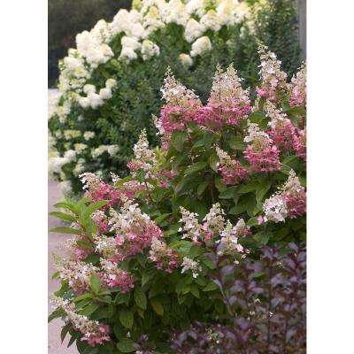 Pinky Winky Hardy Hydrangea (Paniculata) Live Shrub, White and Pink Flowers, 4.5 in. Qt.