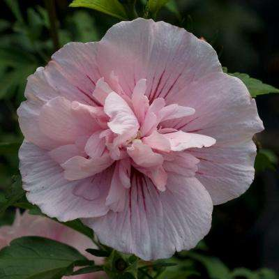 Pink Chiffon Rose of Sharon (Hibiscus) Live Shrub, Light Pink Flowers, 4.5 in. Qt.