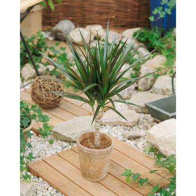 Dracaena Marginata in 6 in. Grower Pot