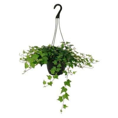 Hedera Ivy in 8 in. Hanging Basket