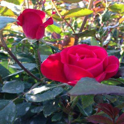 8 in. Potted Double Red Knockout Rose Plant