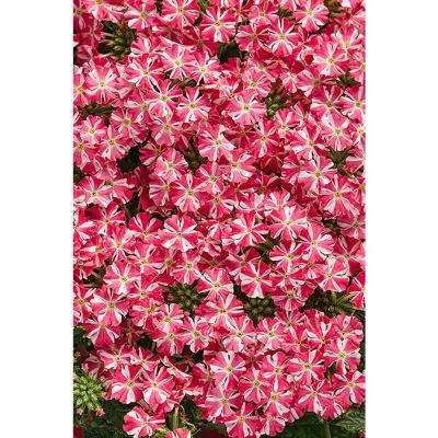 Superbena Royale Cherryburst (Verbena) Live Plant, Pink and White Striped Flowers, 4.25 in. Grande, 4-pack