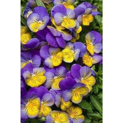 Anytime Iris Pansiola (Viola) Live Plant, Violet, White, and Yellow Flowers, 4.25 in. Grande, 4-pack