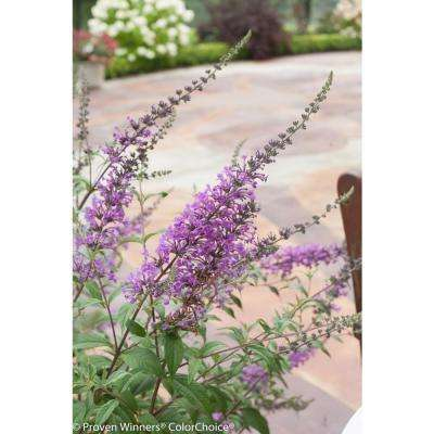 InSpired Violet Butterfly Bush (Buddleia) Live Shrub, Purple Flowers, 4.5 in. Qt.