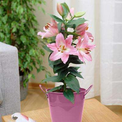 Patio Lily Souvenir with Pink Metal Planter and Growers Pot