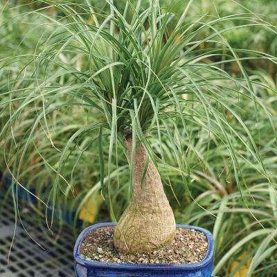 Ponytail Palm (Indoor)