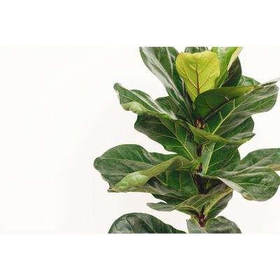 Ficus Lyrata Plant in 9.25 In. Designer Pot