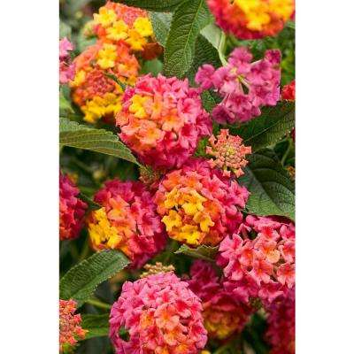 Luscious Berry Blend (Lantana) Live Plant, Pink, Orange, and Yellow Flowers, 4.25 in. Grande, 4-pack