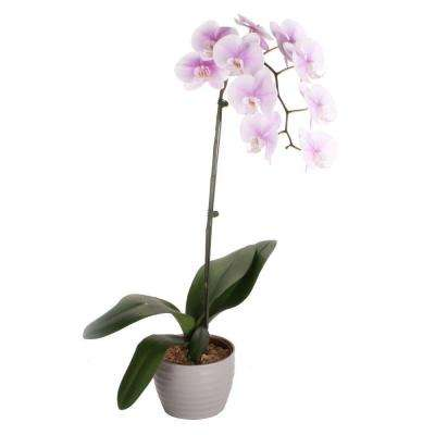 Orchid 6 in. Phalaenopsis in Ceramic Pot