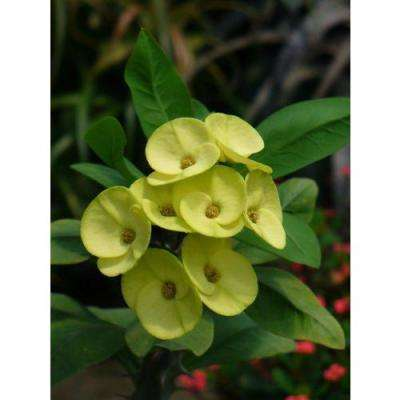 Crown of Thorns Plant Yellow Flowers in 1 Gal. Grower's Pot (4-Plants)