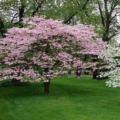 5 gal. 4 ft. Pink Flowering Dogwood Tree