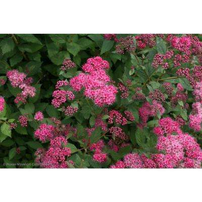 Double Play Pink Spirea (Spiraea) Live Shrub, Pink Flowers with Red to Green Foliage, 4.5 in. Qt.