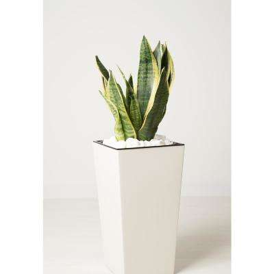 Sansevieria Laurentii Snake Plant in 9.25 In. Grower's Pot