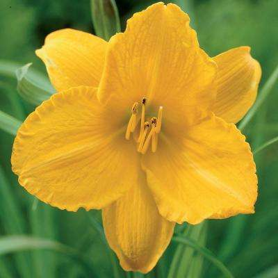 #1 Fragrant Returns Daylily Bulbs (3-Pack)