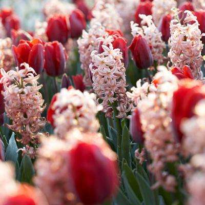 Hyacinth China Pink & Tulip Couleur Cardinal Dormant Bulbs (48-Pack)