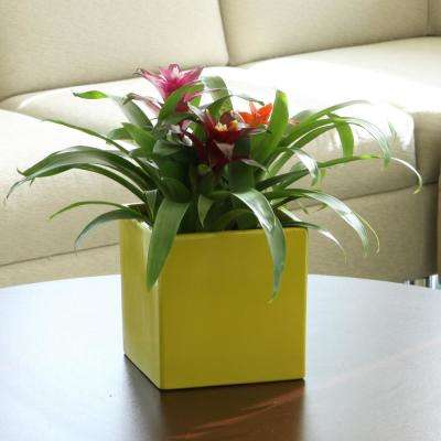 Bromeliad Plant Grower's Choice Colors in 6 in. Grower Pot (2-Pack)