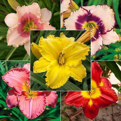 Summer Solstice Daylily Collection
