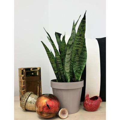 Sansevieria in 6 in. Grower Pot