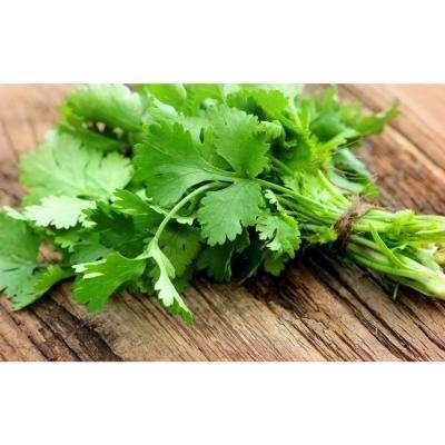 Herb Plant Cilantro in 6 In. Deco Pot