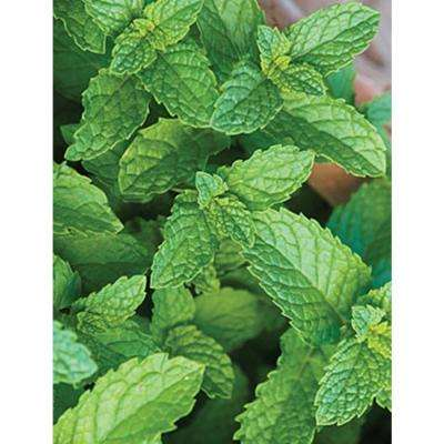 4.25 in. Grande Proven Selections Spearmint, Live Plant, Herb (Pack of 4)