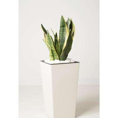 Sansevieria Laurentii Snake Plant in 9.25 In. Designer Pot