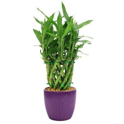 Lucky Bamboo Drum Braid in 4 in. Ribbed Violet Pot
