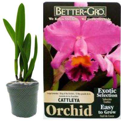 4 in. Lavender Cattleya Packaged Orchid