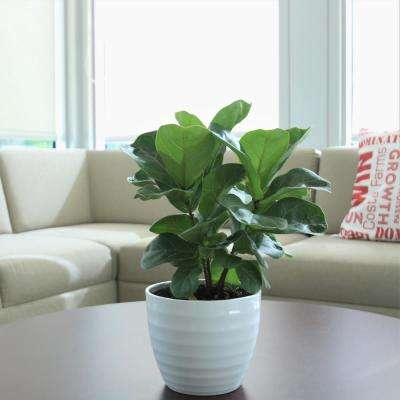 Trending Tropicals Little Fiddle Leaf Ficus Lyrata Plant in 6 in. Ceramic