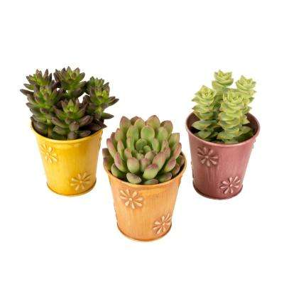 2.5 in. Assorted Succulents in a Colored Daisy Tin (3-Pack)