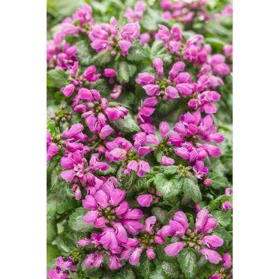 Purple Chablis Dead Nettle (Lamium) Live Plant, Purple Flowers and Silver-Green Foliage, 0.65 Gal.